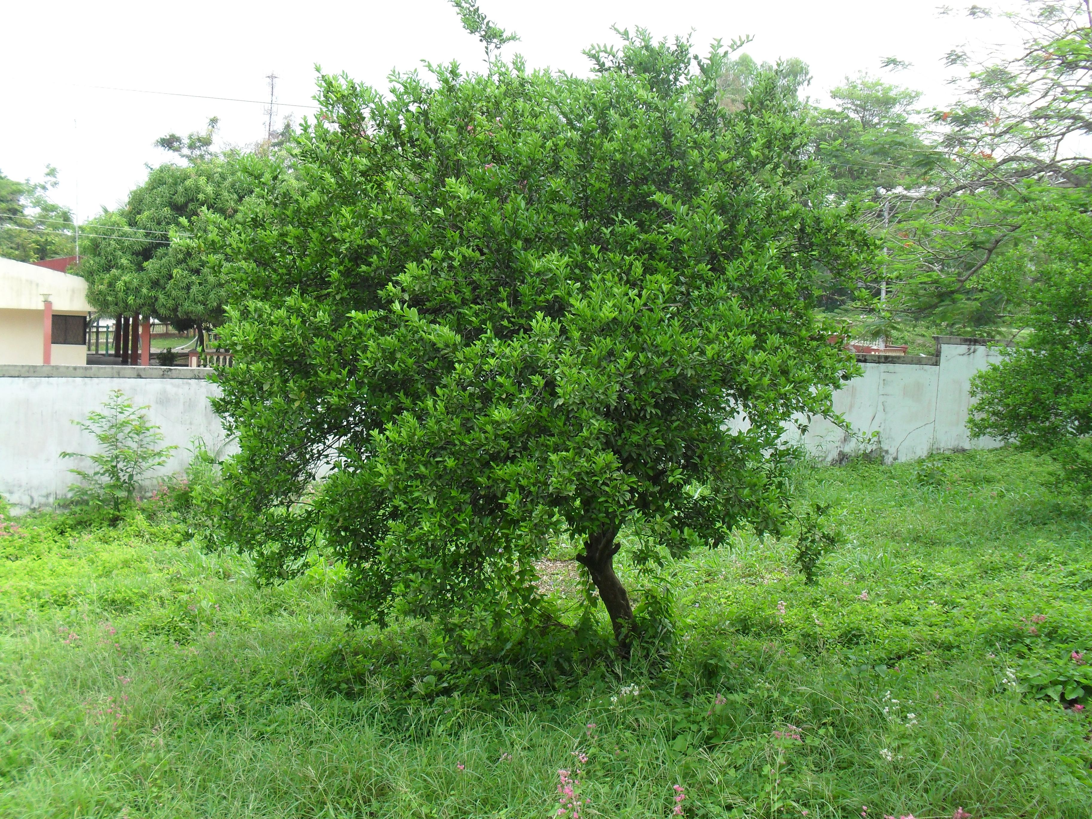 Fauna y flora del codesa codesabotanicag1 for Arbol comun